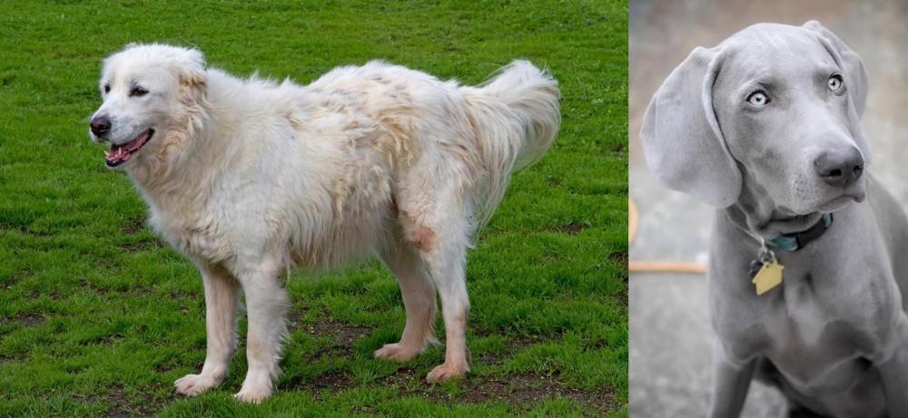 Weimaraner vs Abruzzenhund