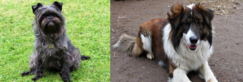 Aidi vs Affenpinscher