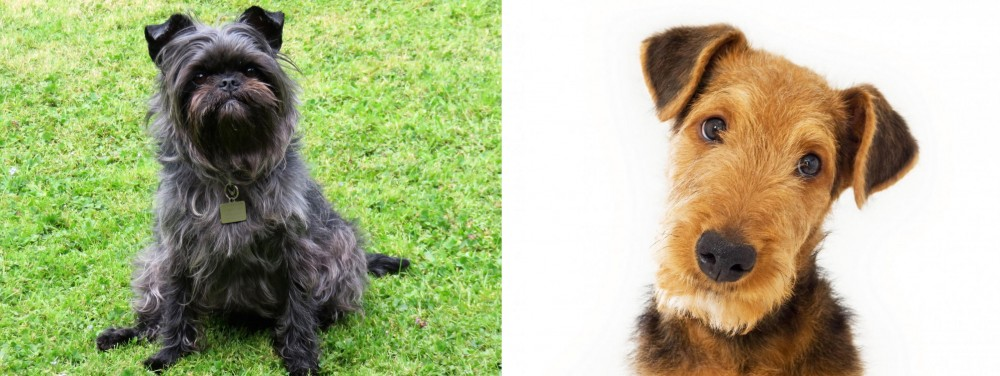 Airedale Terrier vs Affenpinscher