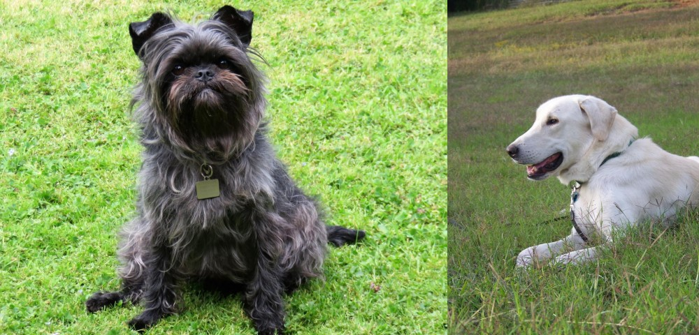 Akbash Dog vs Affenpinscher