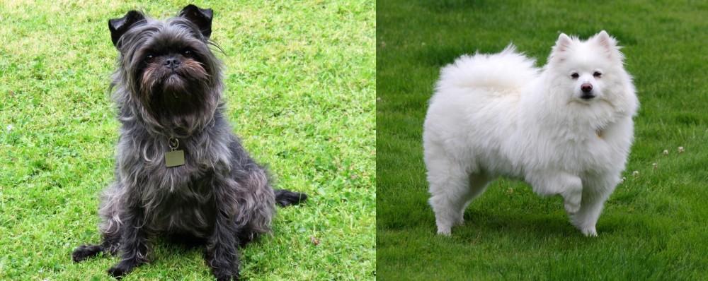 American Eskimo Dog vs Affenpinscher