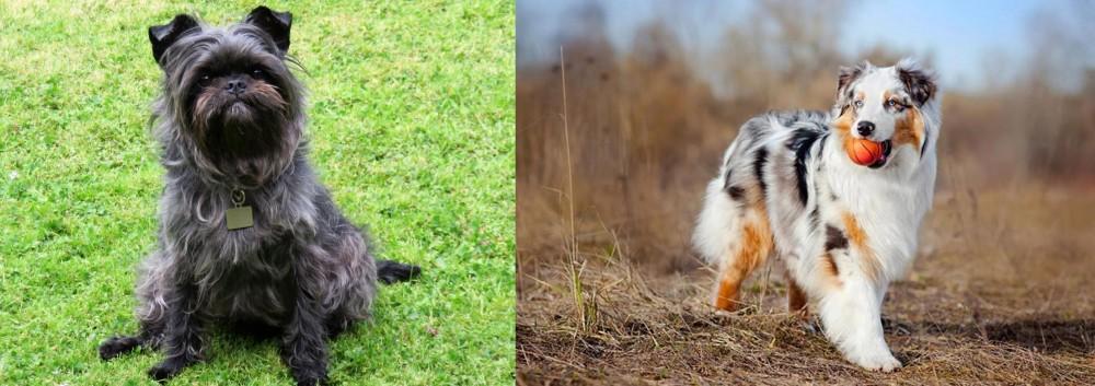 Australian Shepherd vs Affenpinscher