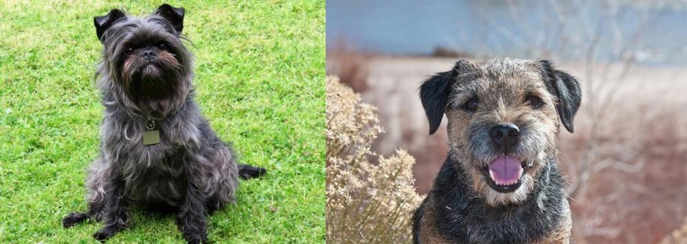 Border Terrier vs Affenpinscher