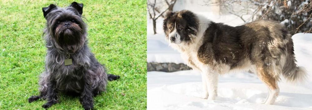 Caucasian Shepherd vs Affenpinscher