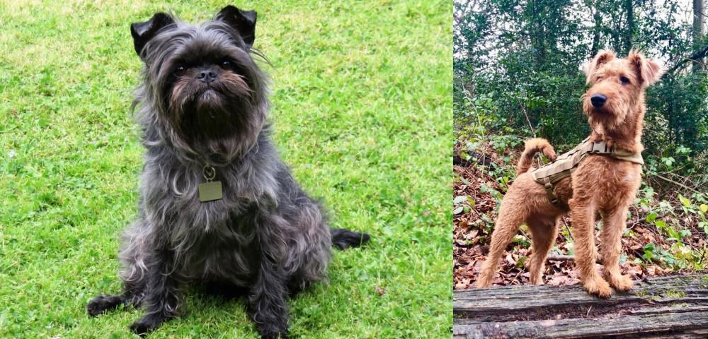 Irish Terrier vs Affenpinscher