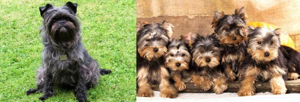 Affenpinscher vs Yorkshire Terrier