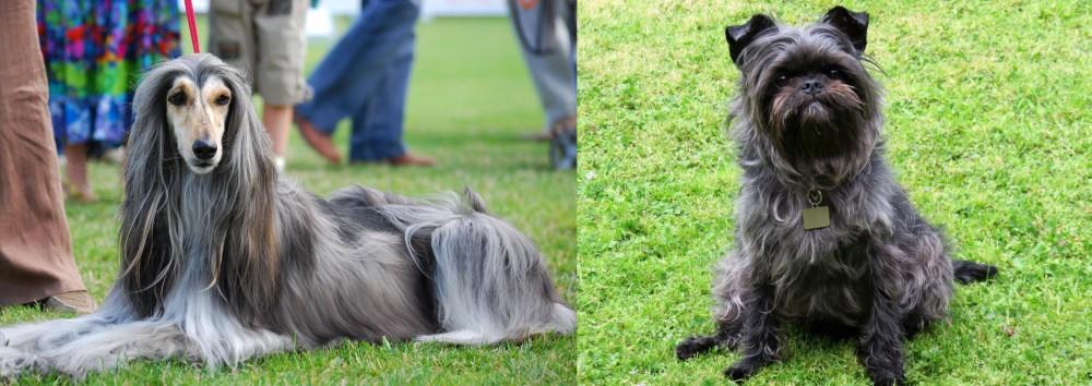 Afghan Hound vs Affenpinscher
