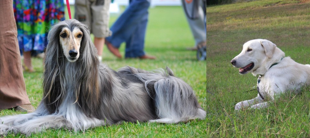 Akbash Dog vs Afghan Hound