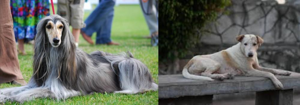 Askal vs Afghan Hound