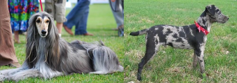 Atlas Terrier vs Afghan Hound