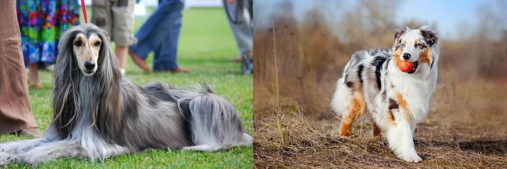 Australian Shepherd vs Afghan Hound