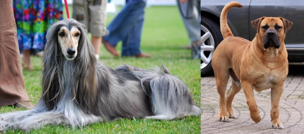 Boerboel vs Afghan Hound