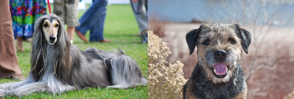 Border Terrier vs Afghan Hound