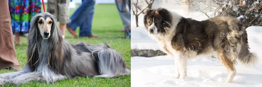 Caucasian Shepherd vs Afghan Hound