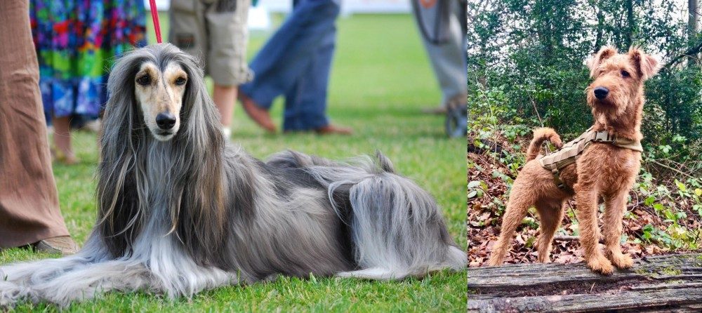 Irish Terrier vs Afghan Hound
