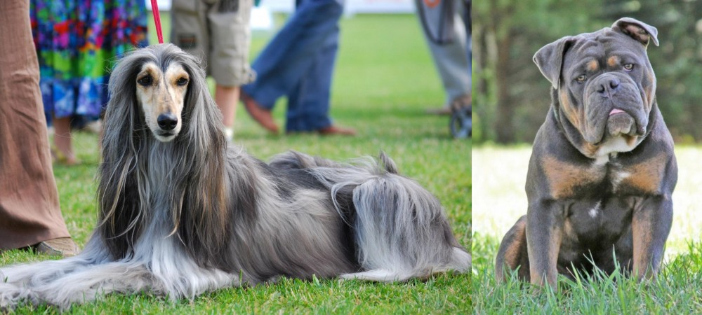 Olde English Bulldogge vs Afghan Hound