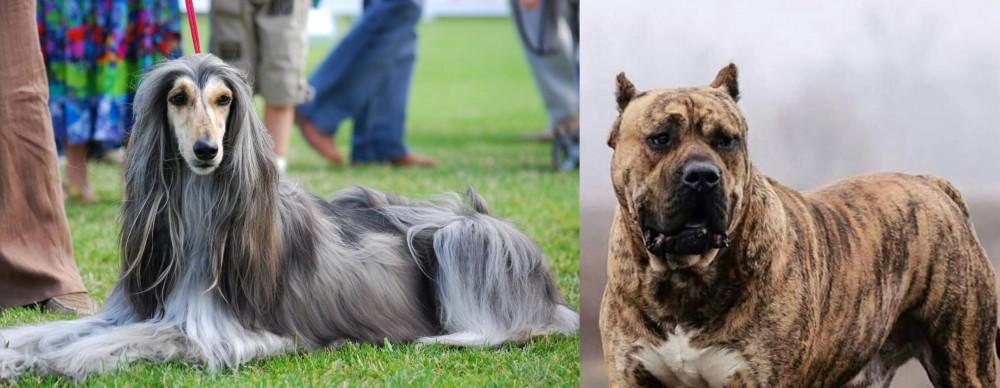 Perro de Presa Canario vs Afghan Hound