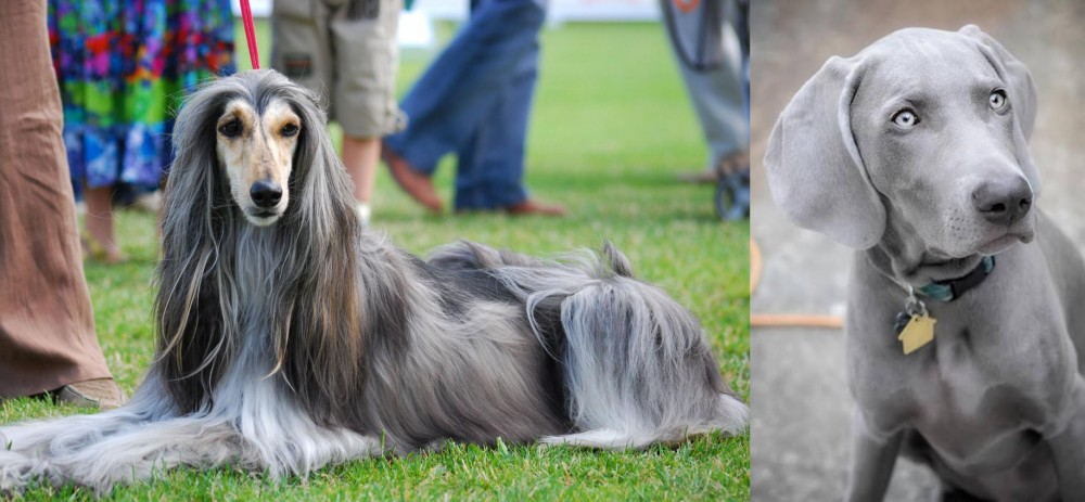 Weimaraner vs Afghan Hound