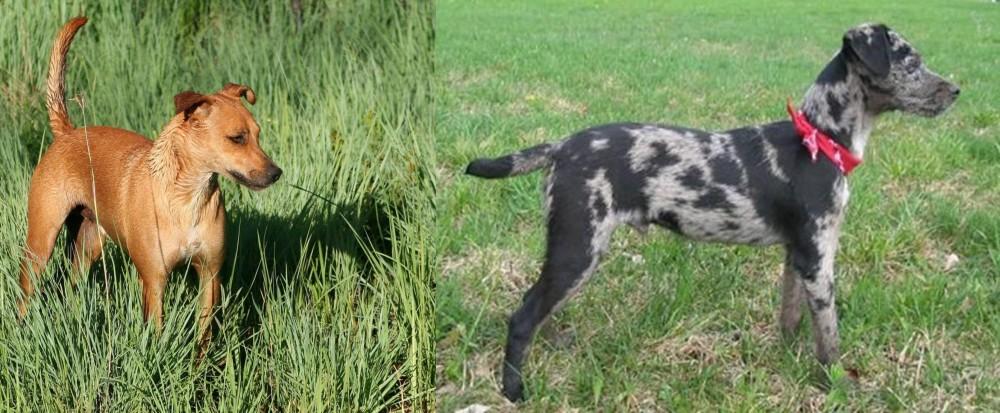 Atlas Terrier vs Africanis