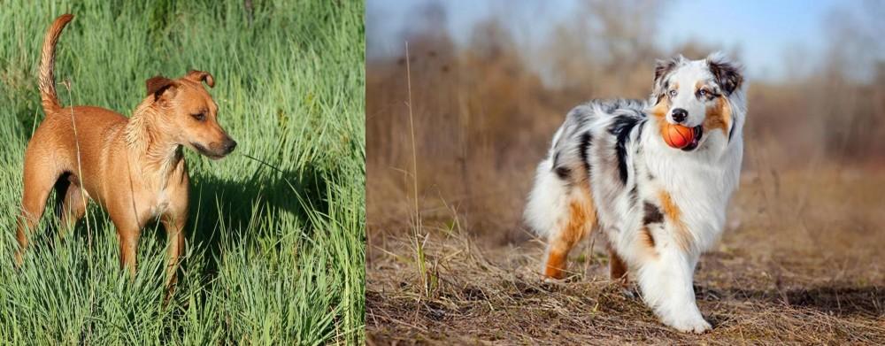 Australian Shepherd vs Africanis