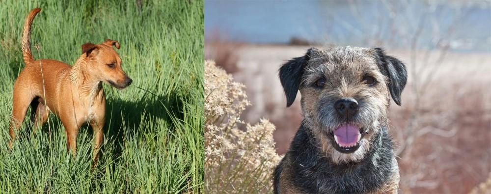 Border Terrier vs Africanis