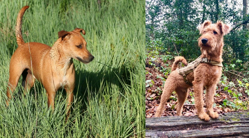 Irish Terrier vs Africanis