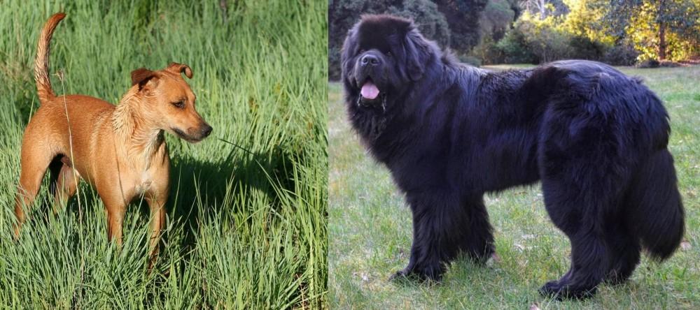 Newfoundland Dog vs Africanis