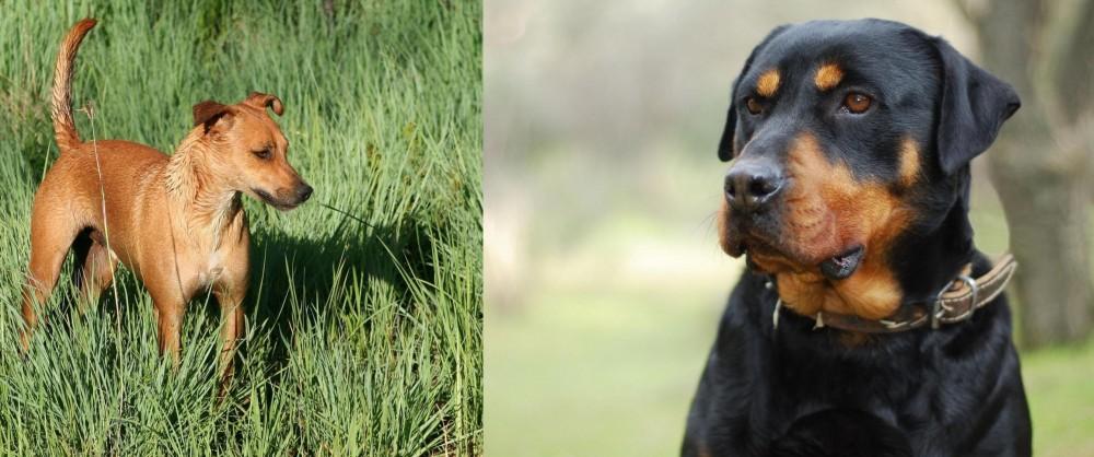 Africanis vs Rottweiler