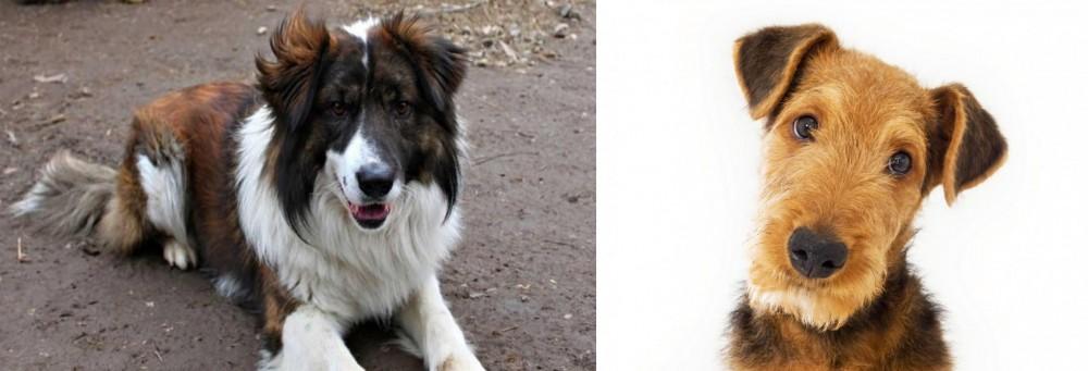 Airedale Terrier vs Aidi