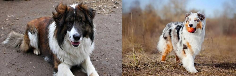 Australian Shepherd vs Aidi