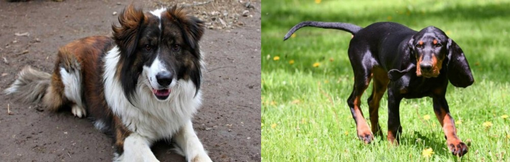 Black and Tan Coonhound vs Aidi