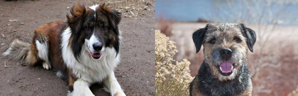 Border Terrier vs Aidi