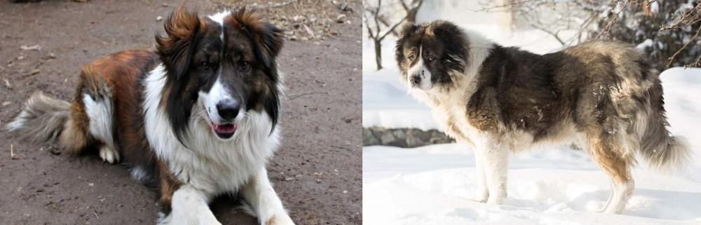 Caucasian Shepherd vs Aidi