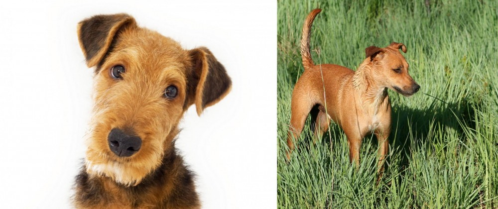 Africanis vs Airedale Terrier