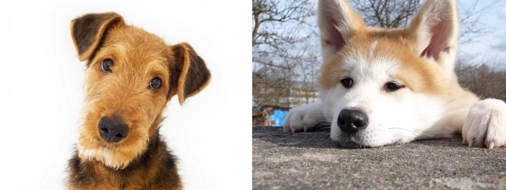 Akita vs Airedale Terrier