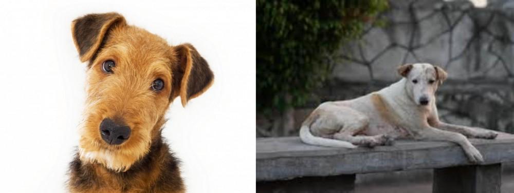 Askal vs Airedale Terrier