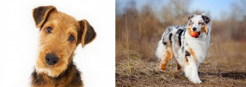 Australian Shepherd vs Airedale Terrier