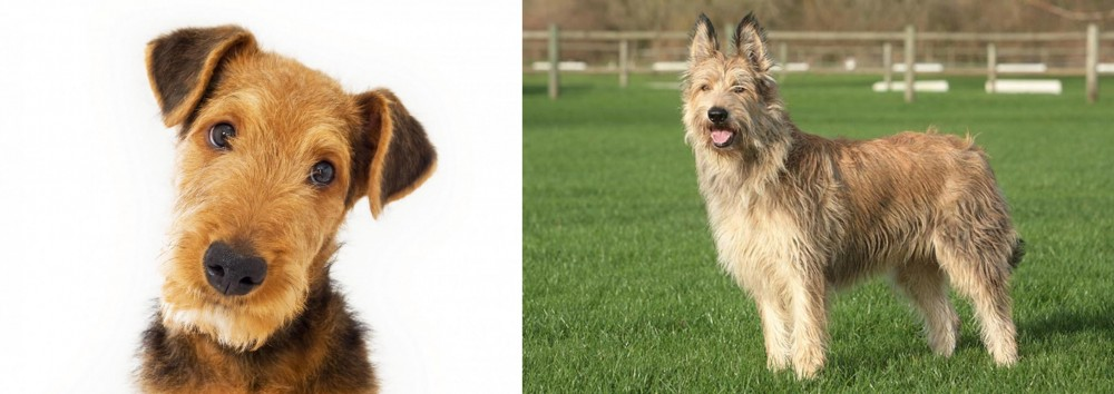 Berger Picard vs Airedale Terrier