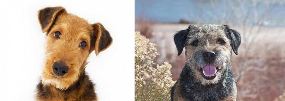 Border Terrier vs Airedale Terrier