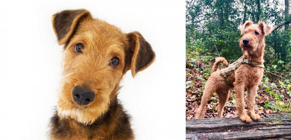 Irish Terrier vs Airedale Terrier