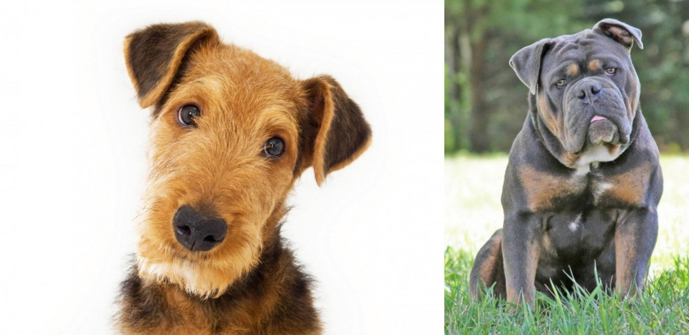 Olde English Bulldogge vs Airedale Terrier