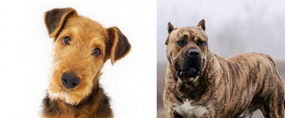 Perro de Presa Canario vs Airedale Terrier
