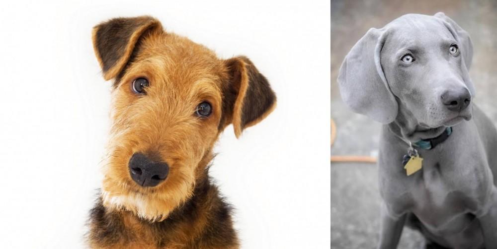 Weimaraner vs Airedale Terrier