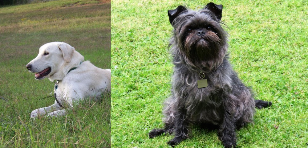 Akbash Dog vs Affenpinscher