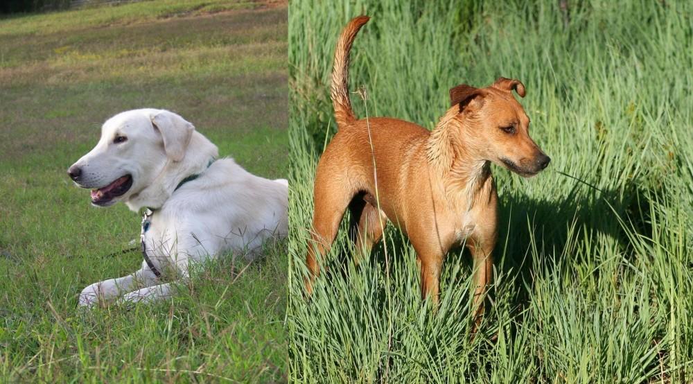 Africanis vs Akbash Dog