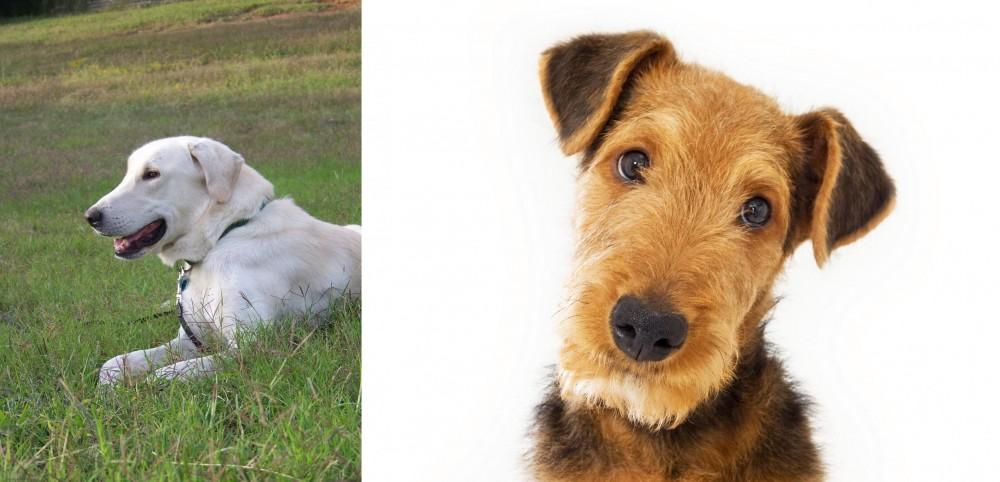 Akbash Dog vs Airedale Terrier
