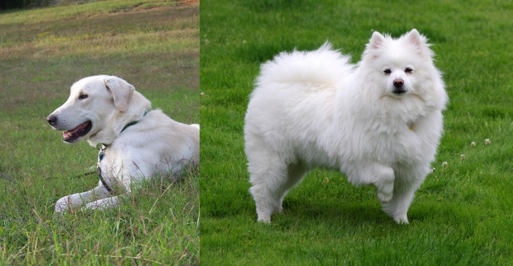 American Eskimo Dog vs Akbash Dog