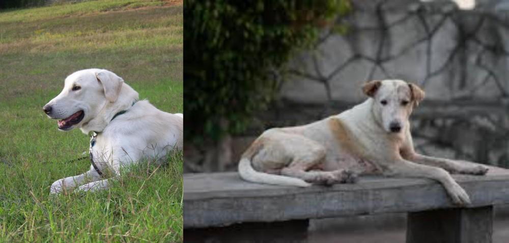 Askal vs Akbash Dog