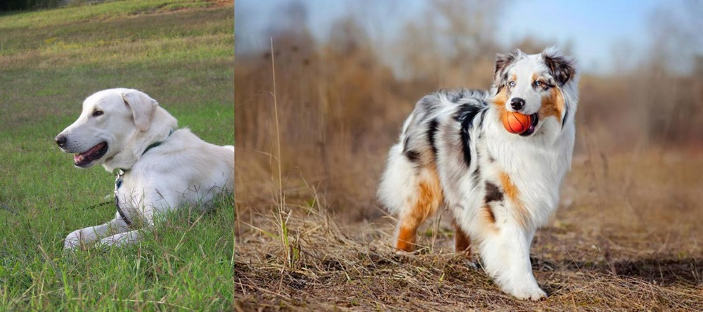 Australian Shepherd vs Akbash Dog