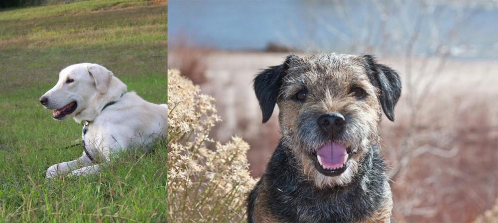 Border Terrier vs Akbash Dog